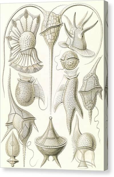 Illustration Shows Microorganisms. Peridinea Canvas Print by Artokoloro