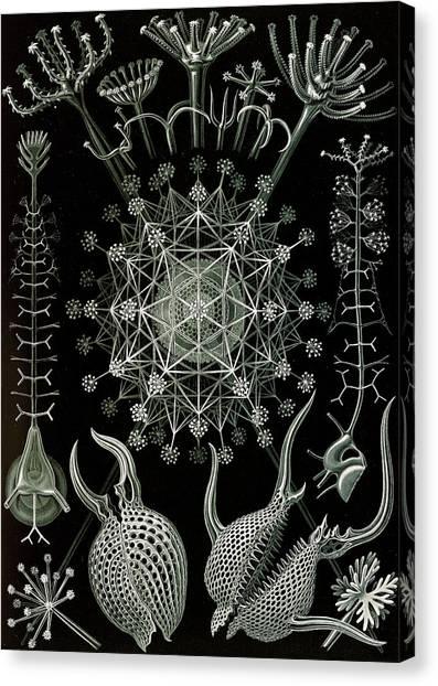 Illustration Shows Microorganisms. Phaeodaria Canvas Print by Artokoloro