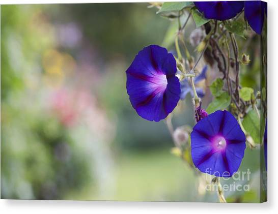 Grandpa Canvas Print - Ipomoea Morning Glory Flowers by Tim Gainey