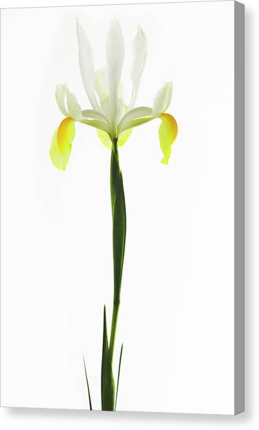 Perennial Canvas Print - Iris Flower (iris Sp.) by Gustoimages/science Photo Library