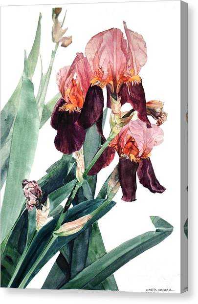 Watercolor Of A Pink And Maroon Tall Bearded Iris I Call Iris La Forza Del Destino Canvas Print