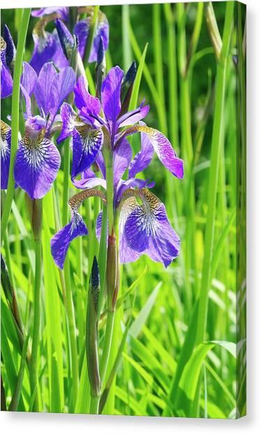 Iris Sibirica 'cambridge' Canvas Print by Neil Joy/science Photo Library