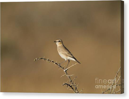 Negev Desert Canvas Print - Isabelline Wheatear Oenanthe Isabellina by Eyal Bartov