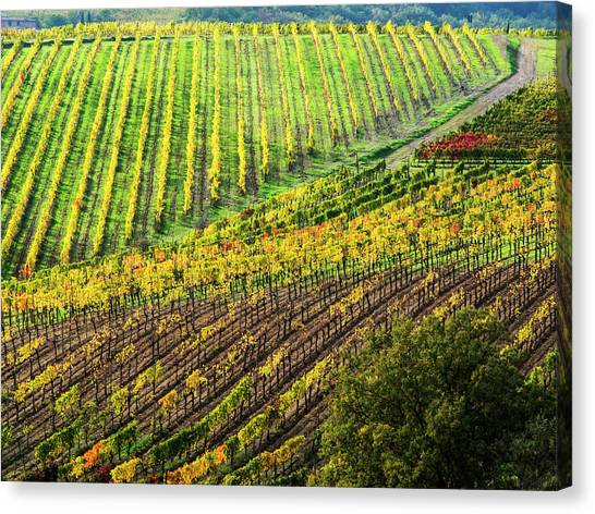 Italy, Montepulciano, Autumn Vineyard Canvas Print by Terry Eggers