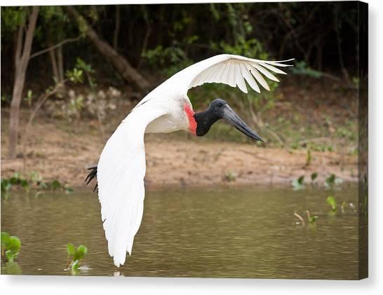 The Pantanal Canvas Print - Jabiru Stork Jabiru Mycteria In Flight by Panoramic Images