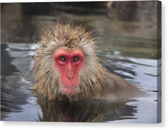 Hydrothermal Canvas Print - Japanese Macaque In Hot Spring by Thomas Marent