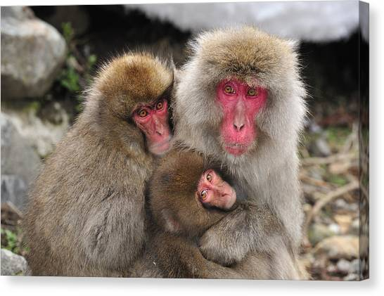 Animal Behaviour Canvas Print - Japanese Macaque Mother With Young by Thomas Marent