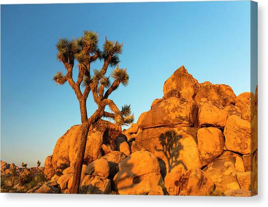 Joshua Tree (yucca Brevifolia) Canvas Print by Michael Szoenyi