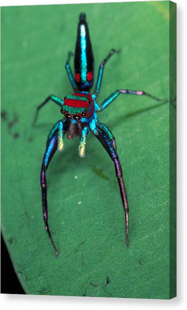 Sinharaja Canvas Print - Jumping Spider by Simon D. Pollard