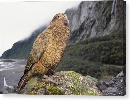 Fox Glacier Canvas Print - Kea At Fox Glacier Westland Np New by Tui De Roy