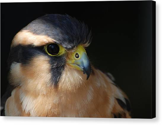 Kestrel Falcon Canvas Print