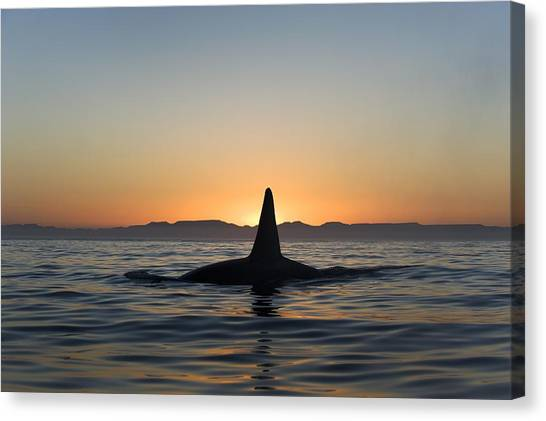 Orcas Canvas Print - Killer Whale Breaching by Christopher Swann