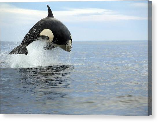 Orcas Canvas Print - Killer Whale Hunting by Christopher Swann