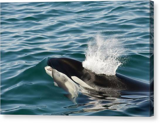 Orcas Canvas Print - Killer Whale With Prey by Christopher Swann