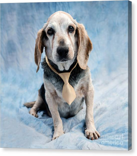 Irises Canvas Print - Kippy Beagle Senior by Iris Richardson