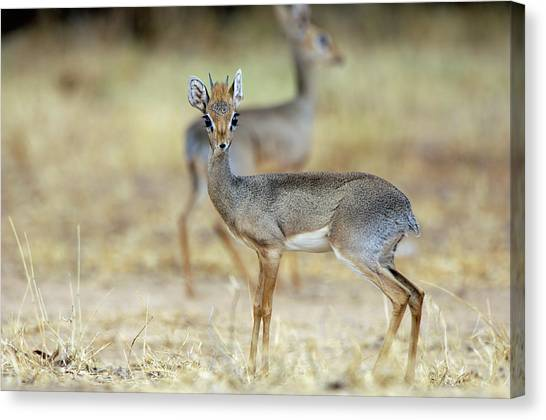 Kirk's Dik-dik Canvas Print by Dr P. Marazzi/science Photo Library