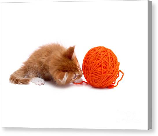 Main Coons Canvas Print - Kitten Playing With Ball Of Wool by Roman Milert