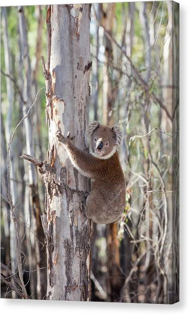 Koala Canvas Print - Koala Bear by Ashley Cooper