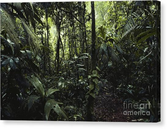 Interior Lowlands Canvas Print   La Selva, Costa Rica By Gregory G.  Dimijian,