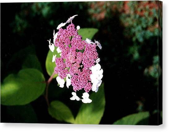 Lacecap Hydrangea Canvas Print