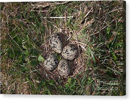 Lapwing Canvas Print - Lapwing Nest by Marcus Bosch