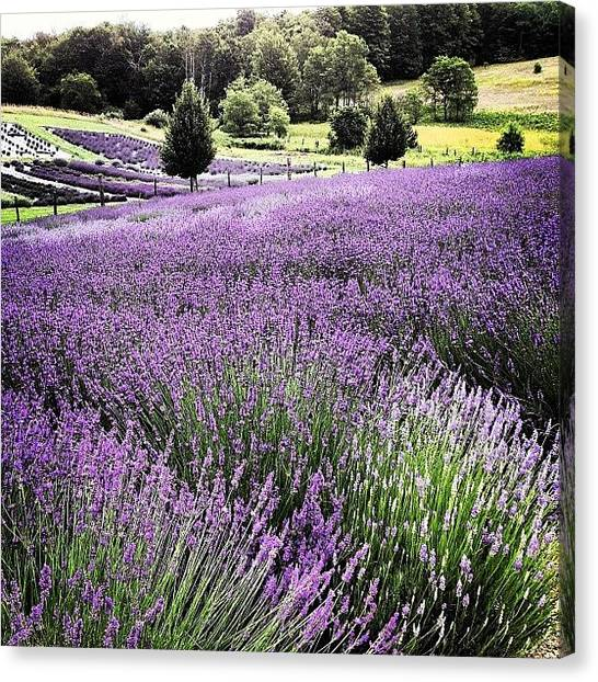 Landscape Canvas Print - Lavender Farm Landscape by Christy Beckwith