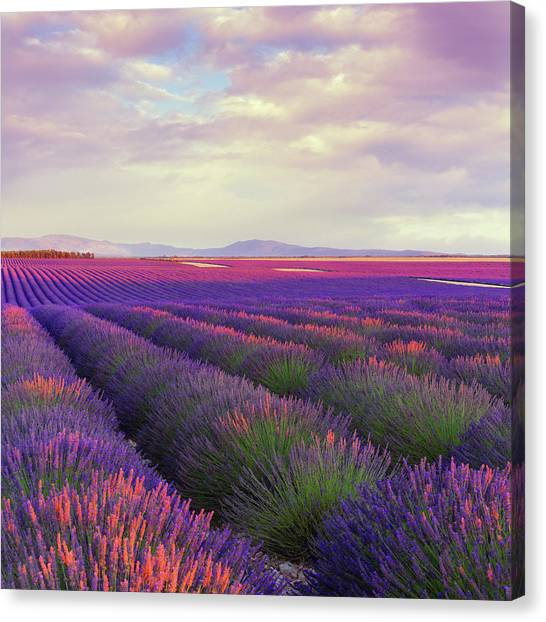 Lavender Field At Dusk Canvas Print