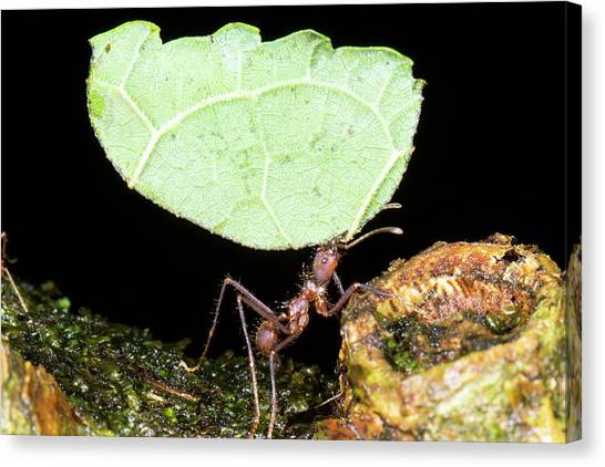 Amazon Rainforest Canvas Print - Leafcutter Ant by Dr Morley Read