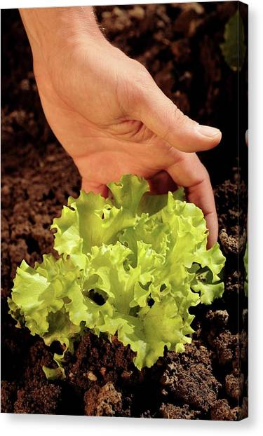 Lettuce Canvas Print - Lettuce Cultivation by Mauro Fermariello