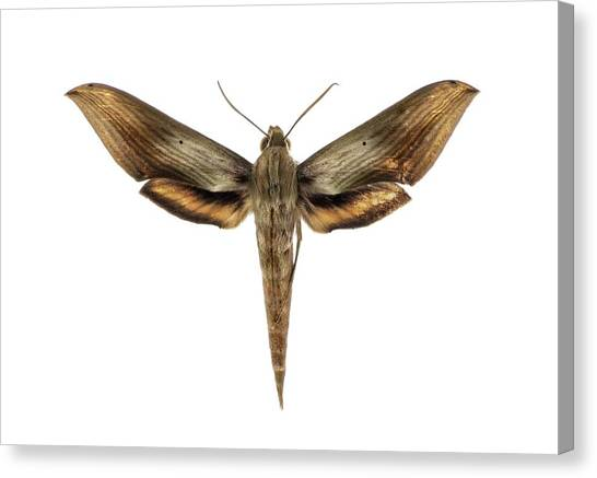 Pollinator Canvas Print - Libya Sphinx Moth by F. Martinez Clavel