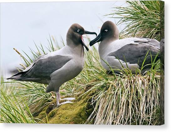 Albatrosses Canvas Print - Light-mantled Albatrosses by William Ervin/science Photo Library