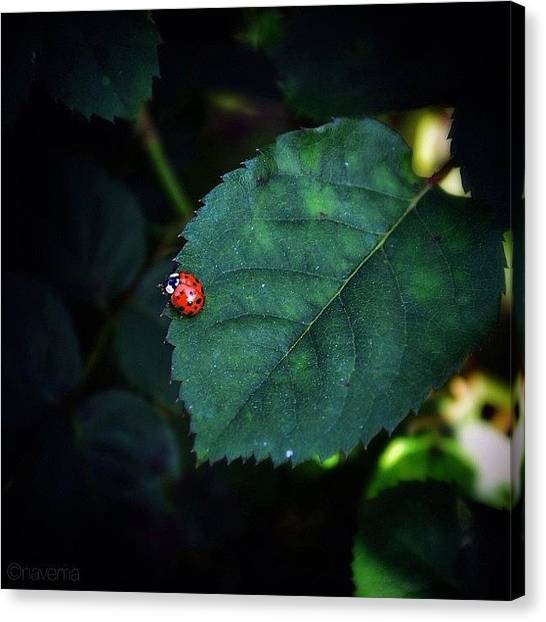 Insects Canvas Print - Lil Ladybug by Natasha Marco