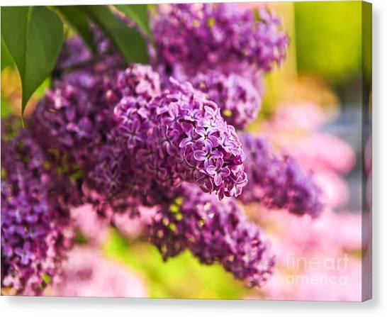 Lilac Bush Canvas Print - Lilacs by Elena Elisseeva