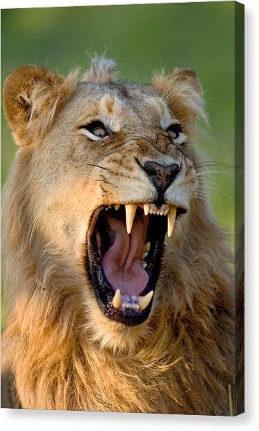 Jaws Canvas Print - Lion by Johan Swanepoel