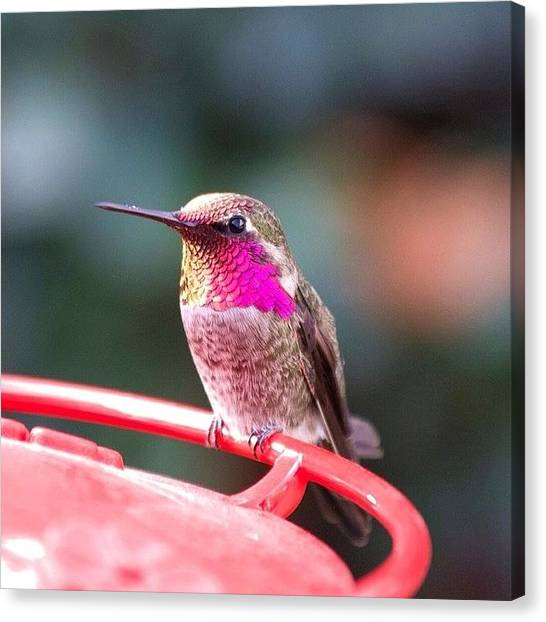 Hummingbirds Canvas Print - Little Guy Not Sure About Me :) by Patty Warwick