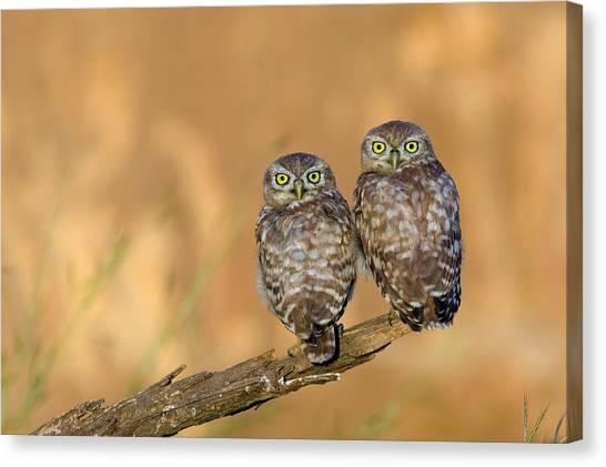 Negev Desert Canvas Print - Little Owl Athene Noctua Couple by Photostock-israel
