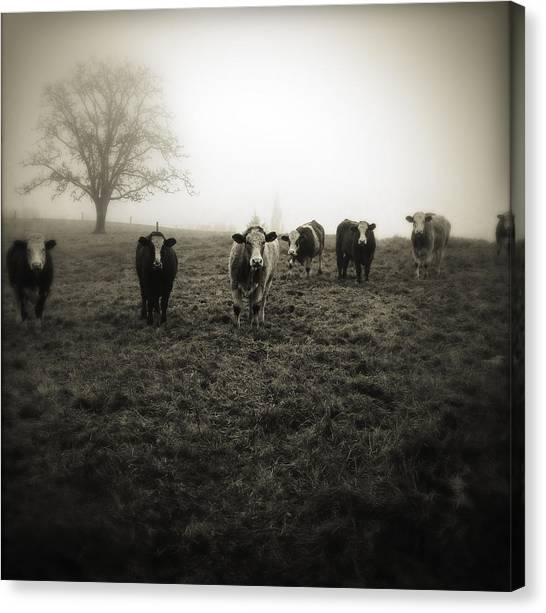 Cow Farms Canvas Print - Livestock by Les Cunliffe
