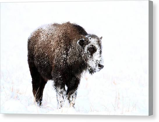Lone Calf Canvas Print