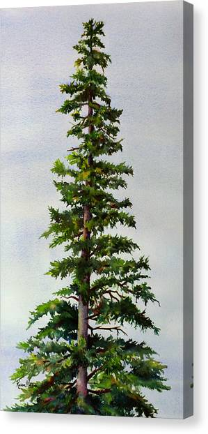 Lone Spruce Canvas Print