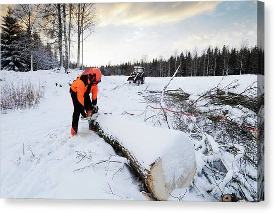 Chainsaw Canvas Print - Lumberjack Cutting Log With Chainsaw In Winter by Christian Lagerek/science Photo Library