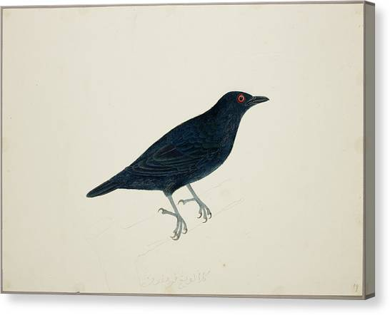 Starlings Canvas Print - Malay Glossy Starling by British Library