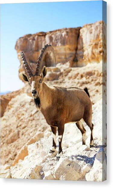 Negev Desert Canvas Print - Male Nubian Ibex by Photostock-israel