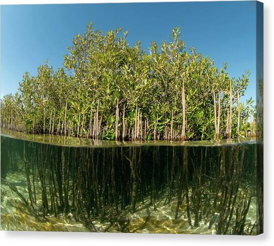 Mangrove Trees Canvas Print - Mangrove Trees by Louise Murray/science Photo Library
