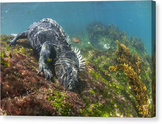 Animal Behaviour Canvas Print - Marine Iguana Feeding On Algae Punta by Tui De Roy