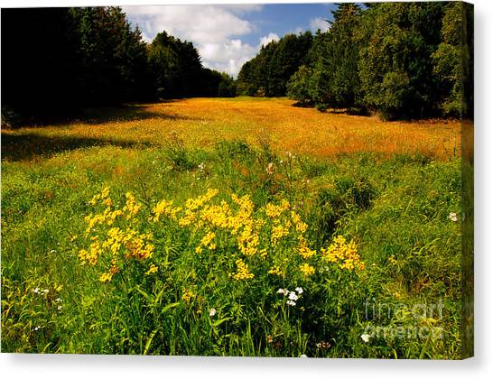 Meadow Filled With Yellow Flowers Canvas Print