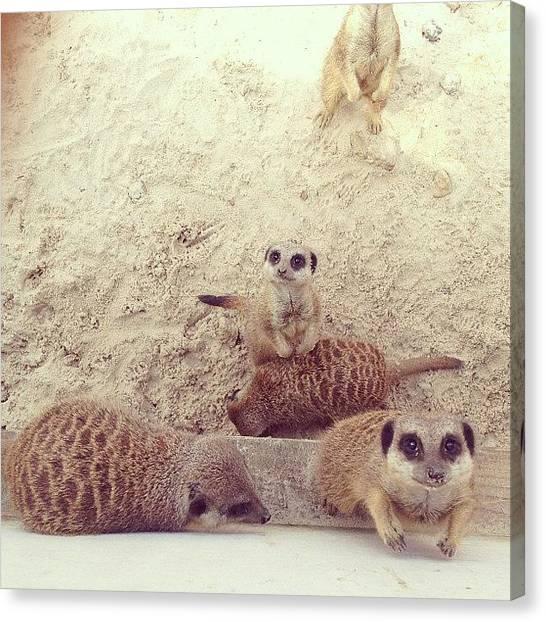 Meerkats Canvas Print - #meerkat #meerkats #meercat by Lizzie Leslie