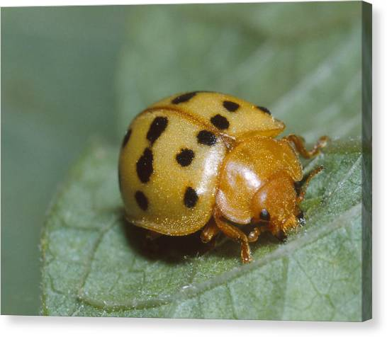 Mexican Bean Beetle Canvas Print by Harry Rogers
