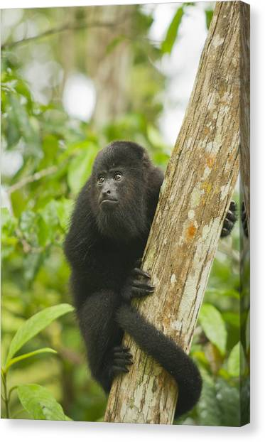 Schafer Canvas Print - Mexican Black Howler Monkey Belize by Kevin Schafer