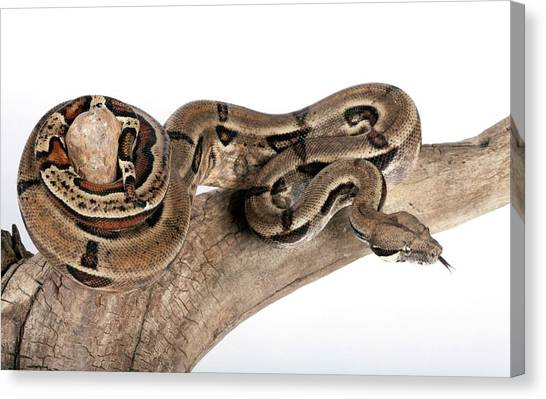 Boa Constrictors Canvas Print - Mexican Boa Constrictor by Pascal Goetgheluck/science Photo Library