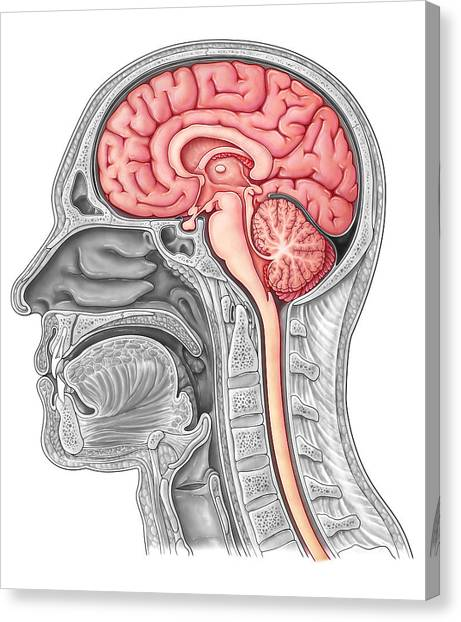 Cerebral Peduncle Canvas Prints | Fine Art America